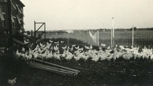 Primary view of object titled 'H.A. Bump's Chickens'.