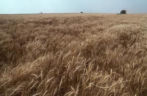 Primary view of Wheat Harvest