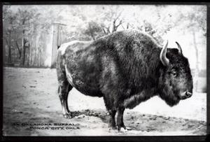 Primary view of object titled 'Oklahoma Buffalo in Ponca City, Oklahoma'.