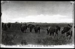Primary view of object titled 'Buffaloes at 101 Ranch in Bliss, Oklahoma'.