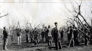 Primary view of object titled 'Pruning Peach Trees'.
