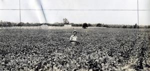 Primary view of object titled 'Soy Beans in Muskogee County'.