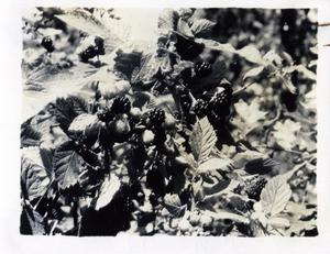 Primary view of object titled 'Berries Growing in a Garden'.