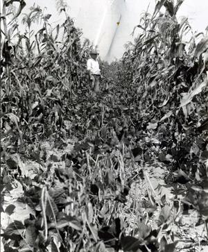 Primary view of object titled 'Inter Row Planting in Cornfield'.